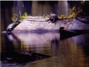 Turtles at the Great Dismal Swamp